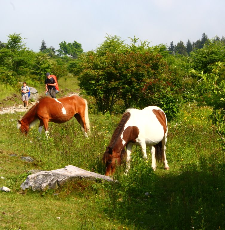 Horses in Grayson Highlands