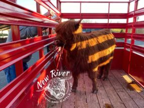 Picture of highlands cow