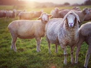 Grayson County Fair Sheep